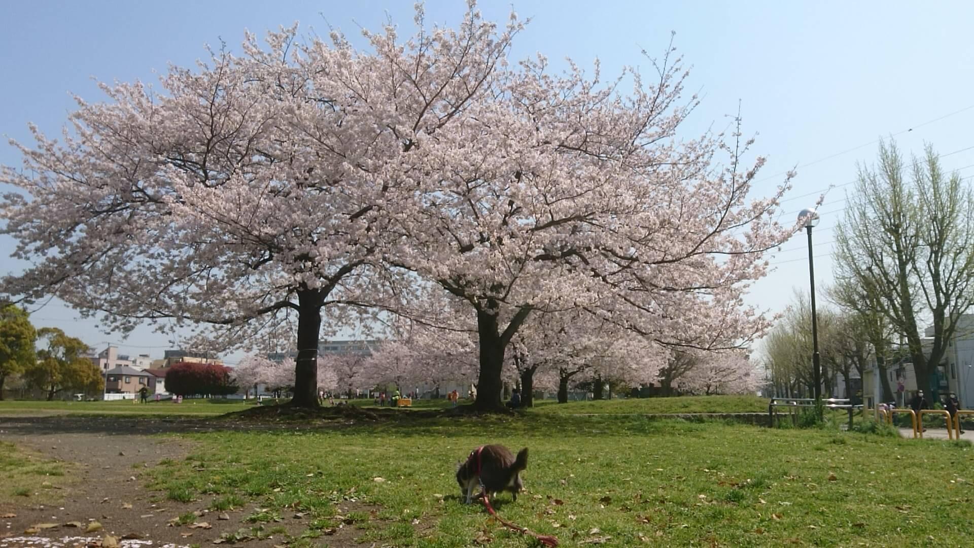 さんはん,詩人,詩,言いたい放題,自由,反戦,平和,戦争反対,桜,散りゆく桜,華胥,まろさん,